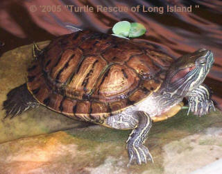 red_ear_slider_trachemys_scripta_elegans_small