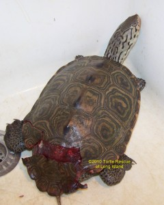 Hit by Car Diamondback terrapin