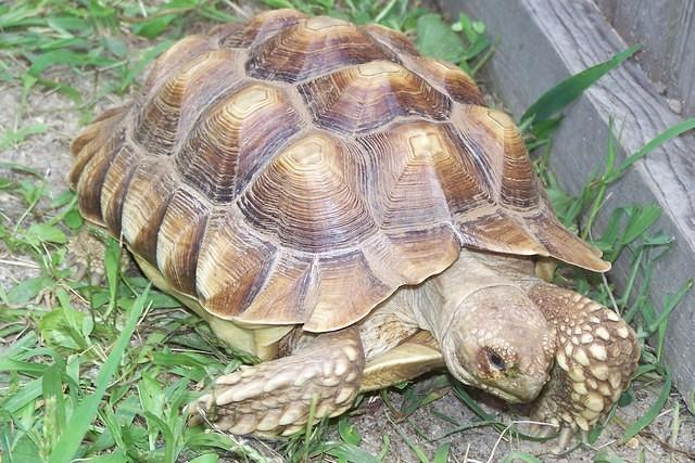 7 year old small Sulcata