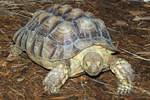 Sulcata Hemp Man