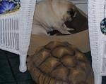 Sulcata keeps Pug in place
