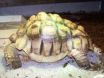 Tony the Sulcata