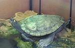 Map turtle 68 years old