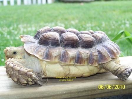 Good Food For Sulcata Tortoise